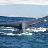 Ballena azul chilena