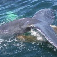 Cola de ballena y excremento